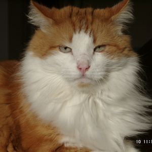 phebuscat